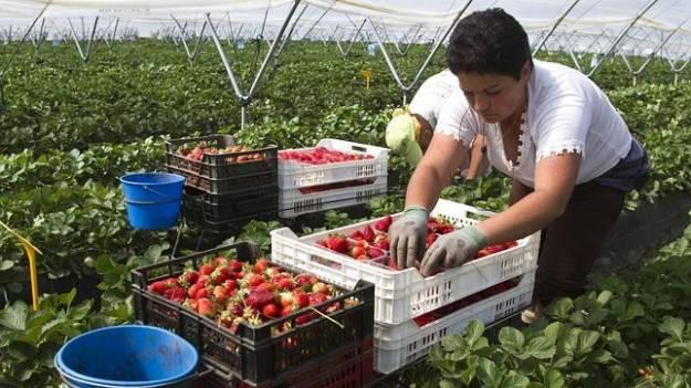 Solo se presentan 970 personas para los 23.000 empleos para recoger fresa en Huelva