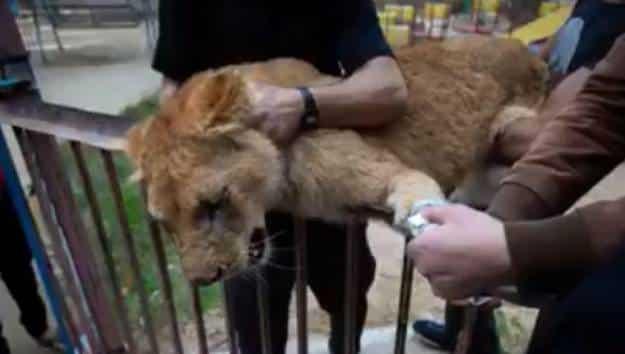 Mutilan a una leona para que juegue con los visitantes de un zoo de Gaza