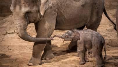 Una elefanta aplasta a un hombre que le tiraba piedras poco después de parir