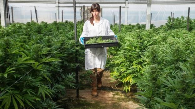 Las burbujas de la marihuana y la carne de mentira 1