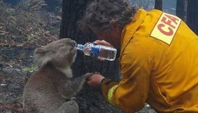 Los incendios forestales han matado a más de 2.000 koalas en Australia