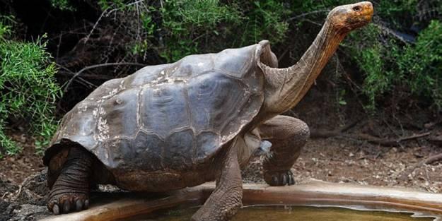 Se jubila Diego, la tortuga que tuvo 800 crías y ayudó a salvar su especie en Galápagos 1
