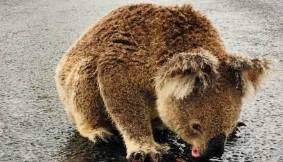 El emotivo vídeo de un koala bebiendo agua de la lluvia tras los incendios de Australia