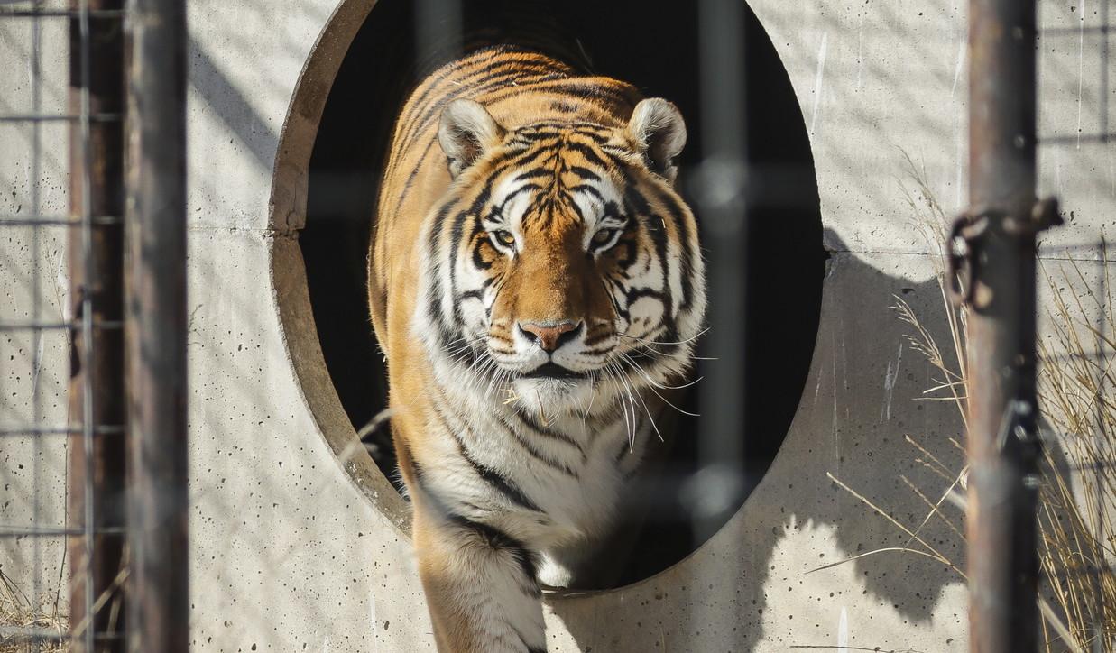 Un tigre en el zoo de Nueva York da positivo por coronavirus 1
